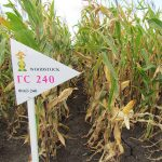 Гибрид кукурузы ГС 240 – ФАО 240 (2017)