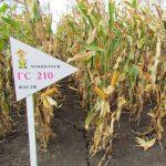 Гибрид кукурузы ГС 210 – ФАО 210 (2017)