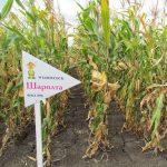 Гибрид кукурузы Шаролта – ФАО 290 (2016)